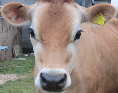 Jersey Cattle Private treaty sales