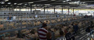 Holsworthy Livestock Market, Devon