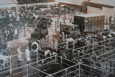 Black and white photo of cattle being sold at Launceston Livestock Market from early 1900